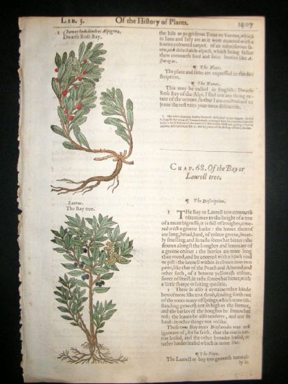 Gerards Herbal 1633 Hand Col Botanical Print. Laurus Bay Tree, Dwarf Rose Bay | Albion Prints